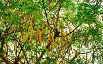The_tree_and_seedpods_of_Moringa_oleifera