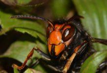 Le frelon asiatique (Vespa Velutina